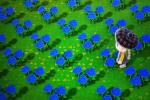 动森蓝玫瑰种植方法攻略